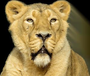 lion-1053013_960_720